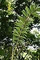 Socratea exorrhiza 13zz.jpg