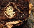 Soil Centipede Mother With Offspring (23114472511).jpg