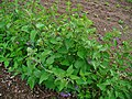 Solanum dulcamara 0001.JPG