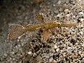 Solenostomus leptosomus (Delicate ghost pipefish).jpg