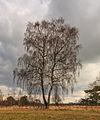 Solitaire berk (Betula) in een prachtig landschap. Locatie, natuurgebied Delleboersterheide – Catspoele 03.jpg