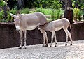 Somali Wild Ass mother and foal.jpg