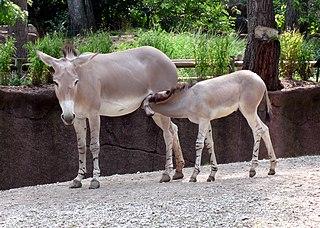 Espèces considérées « ânes » dans ANE 320px-Somali_Wild_Ass_mother_and_foal