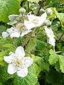 Soon to be blackberries, Amesbury Junction - geograph.org.uk - 2473535.jpg