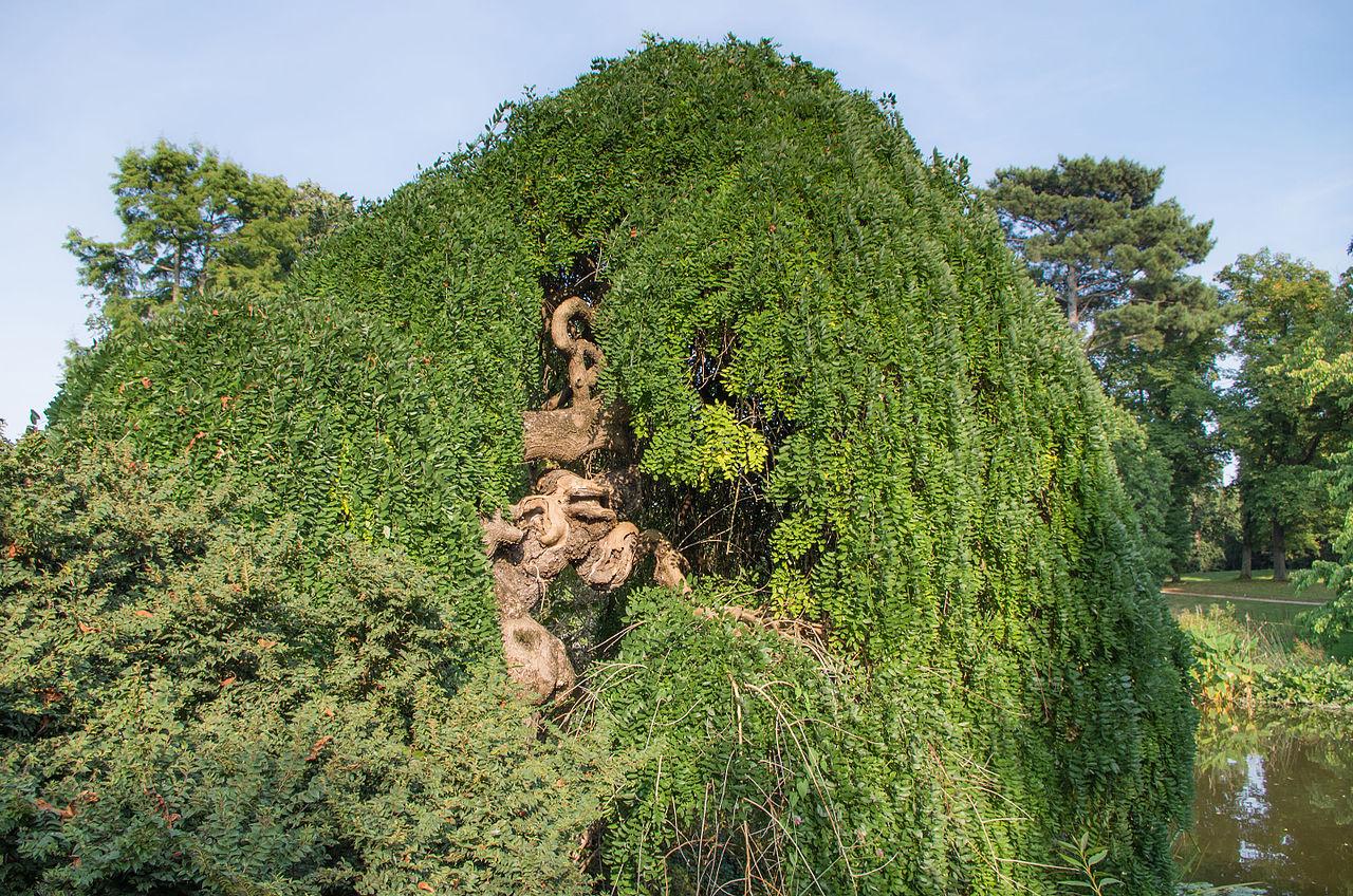 File sophora japonica 39 pendula 39 jardin de for Bagatelle jardin