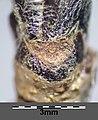 Sorbus aucuparia sl17.jpg