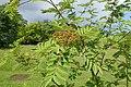 Sorbus matsumurana kz02.jpg