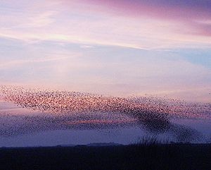 Sort sol - A formation of starlings in the marshlands near Tønder, Denmark.