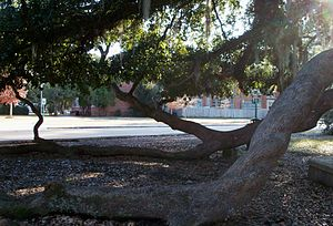 Southeastern Louisiana University - Friendship Circle on Southeastern's campus is dominated by Friendship Oak. This tree is hundreds of years old. Like other mature spreading oaks, Friendship Oak is maintained by arborists to prevent the limbs from growing into the ground.