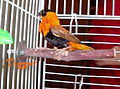 Southern Red Bishop in cage.jpg