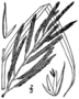 Spartina cynosuroides BB-1913.png