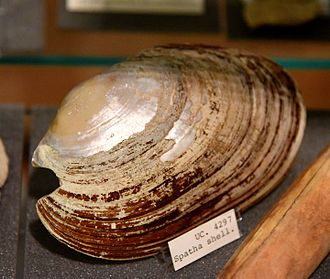 Naqada culture - Image: Spatha shell. From Naqada tomb 1539, Egypt. Naqada I period. The Petrie Museum of Egyptian Archaeology, London