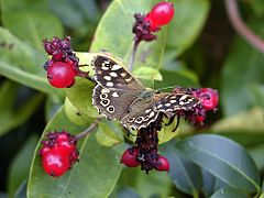 Speckled Wood by Flycatcher.jpg