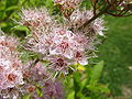 Spiraea salicifolia1.jpg