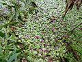 Spirodela polyrhiza 01.JPG