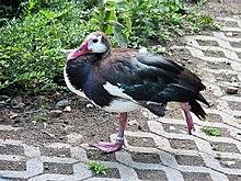 Spur-winged Goose - Plectropterus gambensis : WAZA : World ...