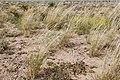 Sporobolus contractus - Flickr - aspidoscelis (13).jpg