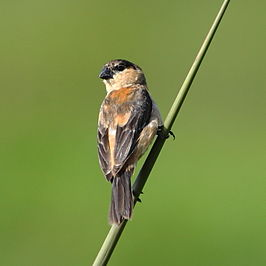 Sporophila bouvreuil - Copper Seedeater (male).JPG