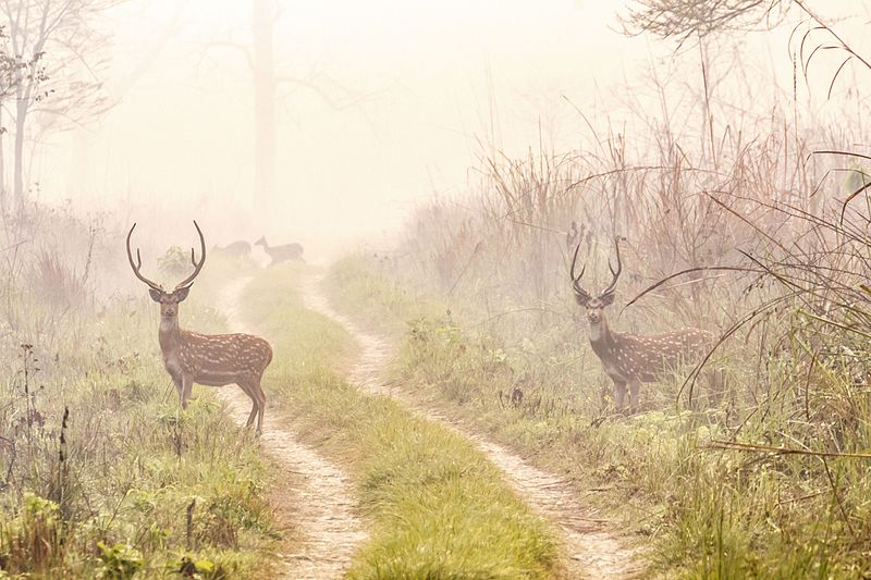 800px-spotted_deers_at_meghauli2c_chitwan_national_park