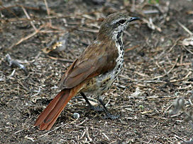 Spotted Morning Thrush RWD2.jpg