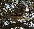 Spotted Owlet (Athene brama) near Hyderabad W IMG 4953.jpg
