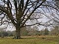 Spreading oak tree, Redrise, New Forest - geograph.org.uk - 425875.jpg