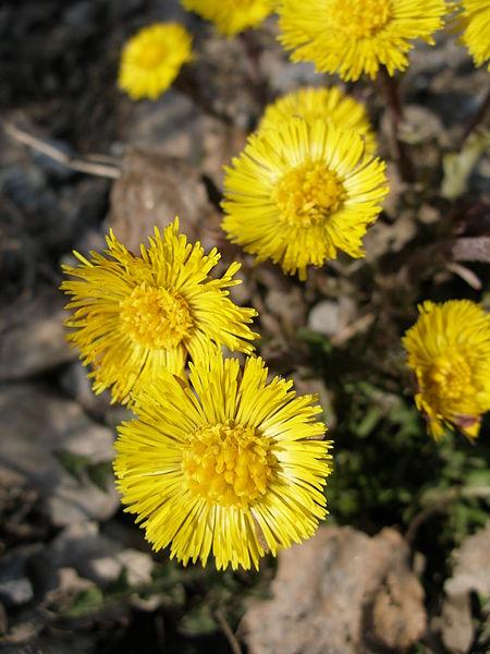 പ്രമാണം:Spring flower.JPG