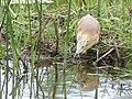 Squacco Heron (Ardeola ralloides) hunting ... (46772065901).jpg