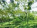 Sreemangal tea garden 2017-08-20.jpg