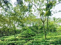 Tea gardens of Sreemangal in Moulvibazar district