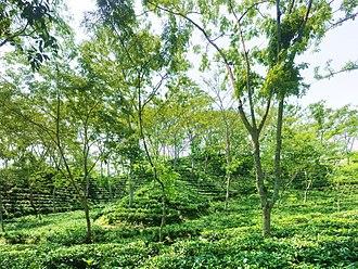 Tea production in Bangladesh - Tea garden in Sreemangal