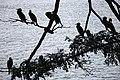 Sri Lanka, Birds on Kandy lake.jpg