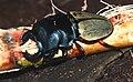 Stag Beetle (Odontolabis femoralis) (8747984898).jpg