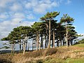 Stand of Pine Trees above the River Otter - geograph.org.uk - 1075838.jpg