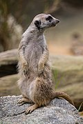 Standing meerkat looking behind.jpg