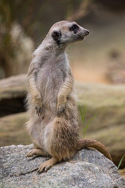 Datei:Standing meerkat looking behind.jpg