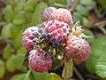 Starr-010423-0040-Rubus niveus-form a fruits-Kula-Maui (24236845160).jpg