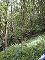 Starr-020530-0001-Ochna thomasiana-habit-Kaapahu HNP-Maui (24466577891).jpg