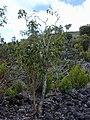 Starr-030222-0013-Charpentiera obovata-habit-Auwahi-Maui (23991955434).jpg