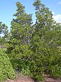 Starr-040213-0001-Conocarpus erectus-habit-Ukumehame-Maui (24605004681).jpg