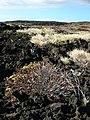 Starr-041223-2233-Senna gaudichaudii-crispy plant-Kanaio Beach-Maui (24722609005).jpg