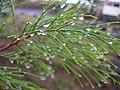 Starr-041228-2479-Tamarix aphylla-rainy weather-Honokanaia-Kahoolawe (24723168235).jpg