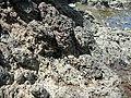 Starr-050419-6509-Scaevola taccada-habit and pipipi-Mokolii-Oahu (24719994626).jpg