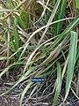 Starr-061106-1415-Saccharum officinarum-var Uahiapele-Maui Nui Botanical Garden-Maui (24572848990).jpg
