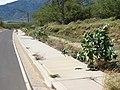 Starr-070207-4331-Calotropis procera-spreading along sidewalk disturbance-Maui Lani Kahului-Maui (24764208782).jpg
