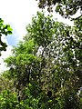 Starr-090623-1459-Adenanthera pavonina-canopy-Nahiku-Maui (24598964959).jpg