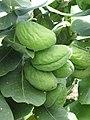 Starr-090721-3265-Calotropis procera-fruit-Wailuku-Maui (24970497995).jpg