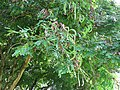 Starr-091104-0671-Adenanthera pavonina-leaves and seedpods-Kahanu Gardens NTBG Kaeleku Hana-Maui (24987441705).jpg