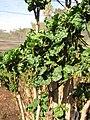 Starr-110209-0749-Polyscias guilfoylei-leaves-Resort Management Group Nursery Kihei-Maui (25074542235).jpg