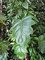 Starr-110330-4002-Philodendron sp-leaf-Garden of Eden Keanae-Maui (24962920882).jpg